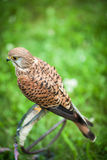Common Kestrel - Falco tinnunculus Stock Photography