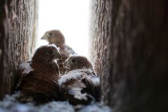 Common kestrel Falco tinnunculus fledglings in the nest. Common kestrel Falco tinnunculus fledglings in nest cavity stock photography