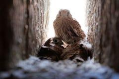 Common kestrel Falco tinnunculus fledglings in the nest. Common kestrel Falco tinnunculus fledglings in nest cavity stock image
