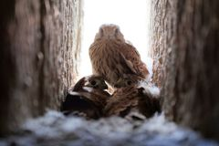 Common kestrel Falco tinnunculus fledglings in the nest. Common kestrel Falco tinnunculus fledglings in nest cavity stock images