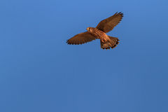 Common Kestrel Stock Photography