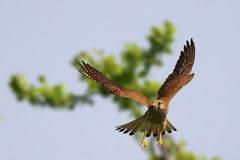 Common kestrel (Falco tinnunculus). Common kestrel, Falco tinnunculus, hovering in the sky while hunting Royalty Free Stock Images