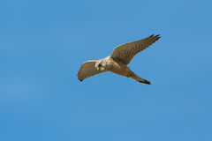 An Common Kestrel, Falco tinnunculus hunting in hovering flight. Stock Images