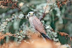 Common Kestrel, Falco tinnunculus, little bird of prey sitting in orange autumn forest, Germany. Larch tree with fall dawn leaves. In the forest with kestrel stock image