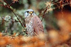 Common Kestrel, Falco tinnunculus, little birds of prey sitting orange autumn forest, Finland Stock Image