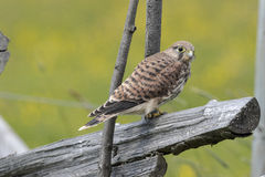 Common Kestrel (Falco Tinnunculus). Common Kestrel perching on a Roundpole fence. Photo taken on June, 2016 Stock Photography