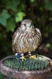 The Common kestrel (Falco tinnunculus) Stock Photos