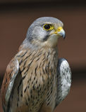 Common Kestrel. Falco tinnunculus Royalty Free Stock Photo