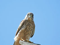 Common Kestrel (Falco tinnunculus) Royalty Free Stock Photo