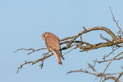 Common kestrel perching on the branch on clear blue background stock photography