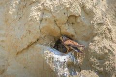 Common kestrel Stock Photo