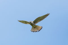 Common kestrel Falco tinnunculus during stationary flight Stock Images