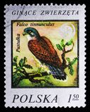 Common Kestrel Falco tinnunculus, Wildlife protection serie, circa 1977. MOSCOW, RUSSIA - SEPTEMBER 15, 2018: A stamp printed in Poland shows Common Kestrel royalty free stock images