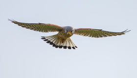 Common Kestrel Stock Images