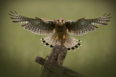 Common Kestrel flying toards the camera Stock Photos