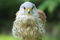 Common kestrel Royalty Free Stock Photography