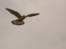 Common Kestrel hovering at sundown Royalty Free Stock Photo