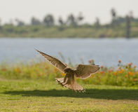 Common kestrel hunting Royalty Free Stock Photos