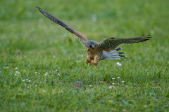 Common Kestrel hunting little mouse, Falco tinnunculus. Common Kestrel hunting little mouse, Falco tinnunculus, little birds of prey, green grassland near Royalty Free Stock Image
