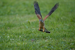 Common Kestrel hunting little mouse, Falco tinnunculus. Royalty Free Stock Photography