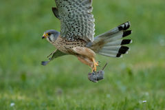 Common Kestrel hunting little mouse, Falco tinnunculus. Common Kestrel hunting little mouse, Falco tinnunculus, little birds of prey, green grassland near Stock Image