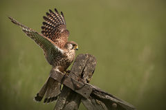 Common Kestrel landing Royalty Free Stock Image