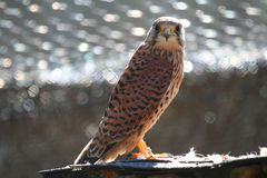 Common Kestrel Stock Photo