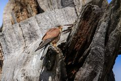 The common kestrel male perched up close royalty free stock images