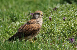 Common Kestrel in nature Royalty Free Stock Images