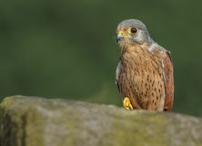 Common kestrel perched on a wall Stock Photography