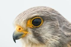 Common Kestrel Portrait Close Up Falco tinnunculus European kestrel stock photography