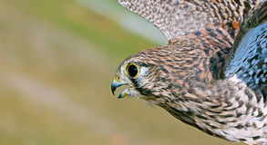 Common Kestrel Stock Image