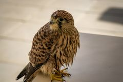 Common kestrel posing on a table royalty free stock image