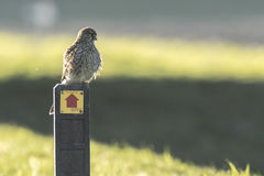 Common Kestrel resting on a sign. Stock Photos