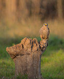 Common Kestrel shouting Royalty Free Stock Photos