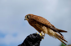 Common Kestrel sitting on leather gloves Royalty Free Stock Image