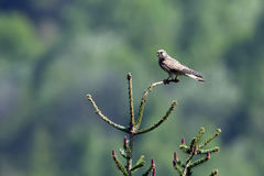 Common kestrel standing on a branch, Vosges, France Stock Images