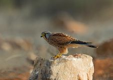 Common Kestrel, Torenvalk, Falco tinnunculus royalty free stock images