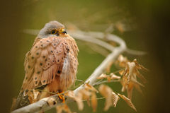 Common kestrel Royalty Free Stock Photos