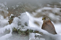 Common Kestrel in winter. Sitting on branch stock image