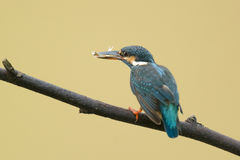 Common King Fisher Royalty Free Stock Images
