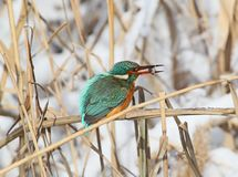 Common kingfiser with fish in its beak. Sits on the reed Stock Images