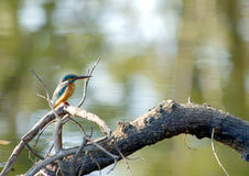 Common Kingfisher. A Common Kingfisher sitting on a branch overlooking a forest pond at Pench Tiger Reserve in India Royalty Free Stock Images