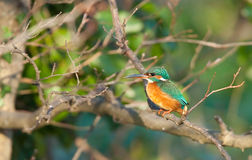 Common kingfisher. View of a kingfisher perched on a branch in evening sun Stock Images