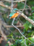 Common kingfisher. View of a kingfisher perched on a branch in evening sun Stock Photography