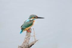 Common Kingfisher Stock Photos