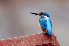 Common Kingfisher. Alcedo atthis, sitting on a rusty boat quay stock photo