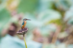 Common Kingfisher. Standing on lotus Royalty Free Stock Image
