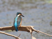 Common Kingfisher, alcedo atthis Stock Images
