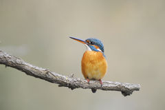 Common kingfisher ( alcedo atthis) Stock Images